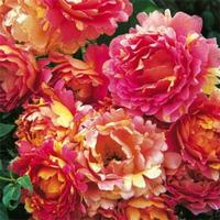 Rose des Cisterciens