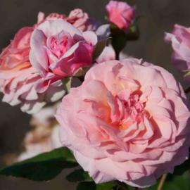 Viva roses (Vissers)