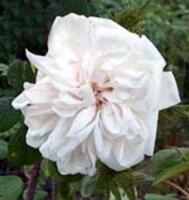 Sailer's White Moss