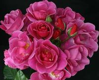 The Oddfellows Rose