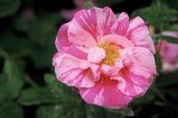 Versicolor (Rosa Mundi)