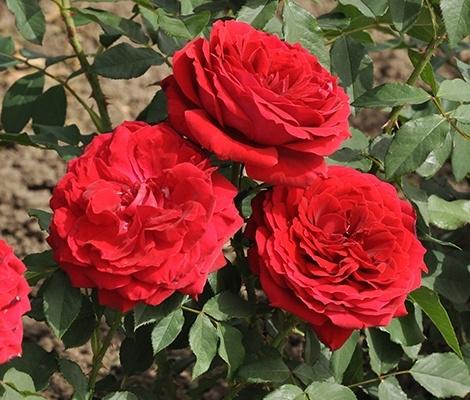 Cherry Vaza