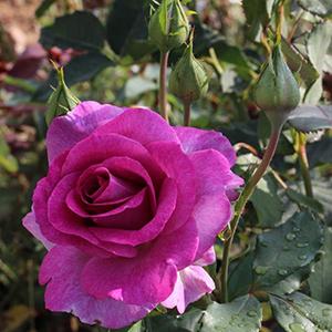 Violet Parfumée