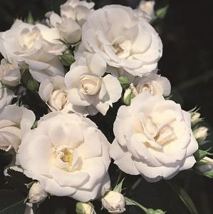 Asperin Rose stam
