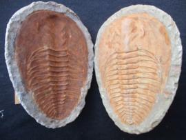 Trilobieten Andulasia