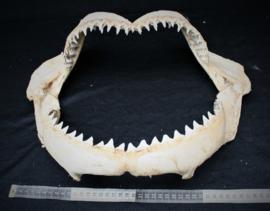 Haaienkaak ( XL)