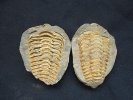 Trilobiet dubbel