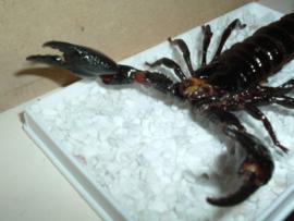 Schorpioen 12 cm