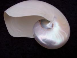 Nautilus pearl 19 cm.