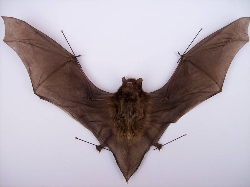 Vleermuis 3