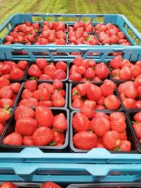 Aardbeien van eigen teelt!  ( onbespoten!)