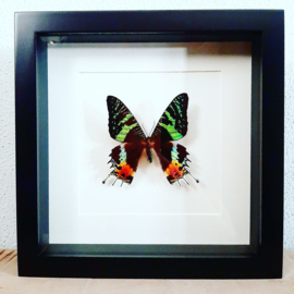 Vlinder in lijst - Urania ripheus