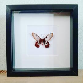 Vlinder in lijst no.2.