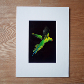 Rose-ringed parakeet gouache painting