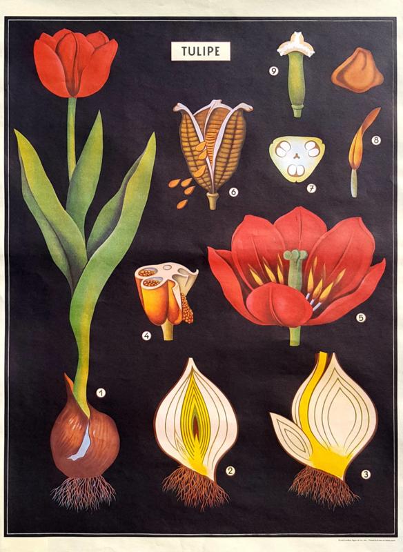 Poster Tulpen incl. koker