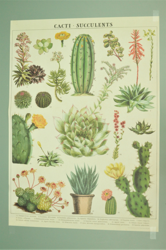 Poster Cactussen en Succulenten incl. koker