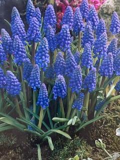 Muscari Blauw