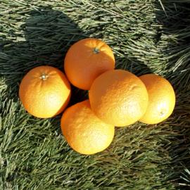 Perssinaasappelen (15 kg)
