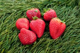 Aardbeien (Kas)