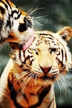 Diamond painting tijger GQ010 20x30