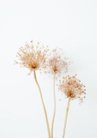 A4 fotoprint 'Alliumbollen'