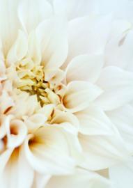 A4 Fotoprint 'Witte Dahlia'