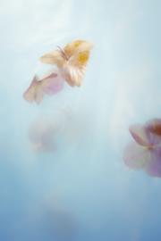 Poster mystic hydrangea