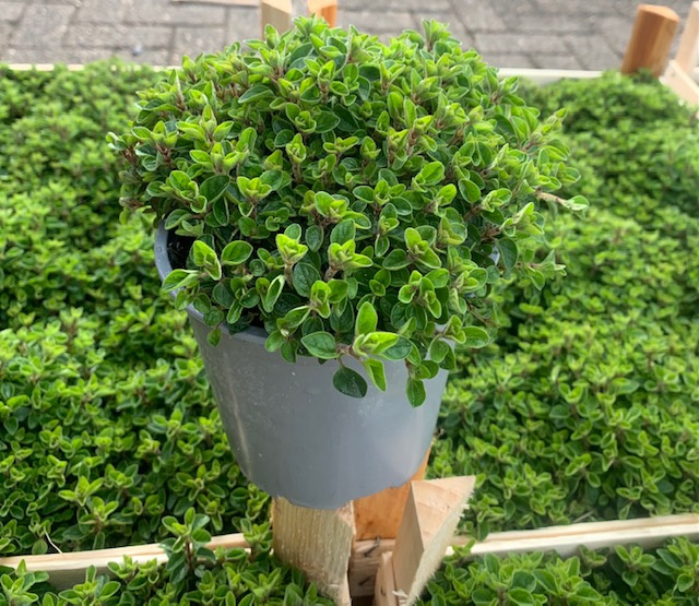 Oregano plant vers, per pot