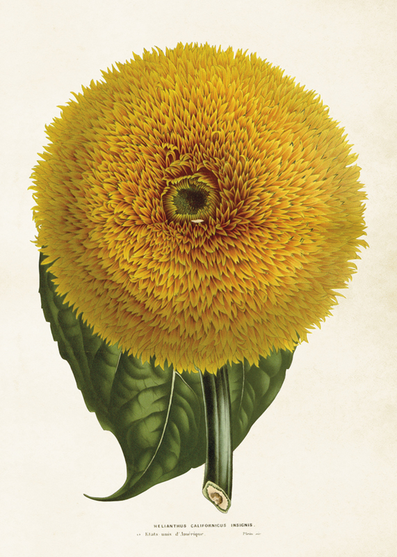 Poster ' zonnebloem' 50 x 70 cm
