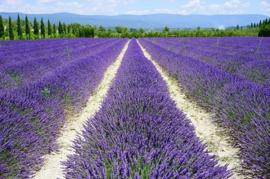 True Lavender Flowers