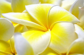 Blossoms of Plumeria W.Type