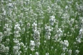 Fine White Lavender Flowers