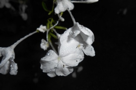 Midnight Jasmins Y.Type
