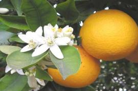 Orange Blossoms L.Type