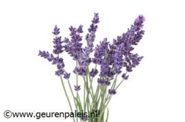 Pure Lamp[e] Geurstof Lavendel