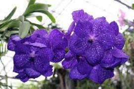 Vanda Flower