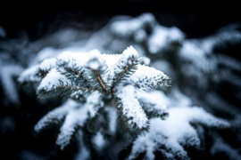 Frosted Blue Spruce Y.Type