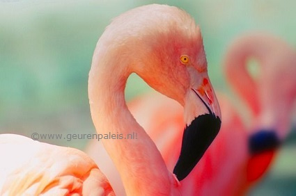 Flamingo's are Pink