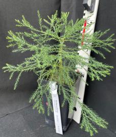 Giant Sequoia - Sequoiadendron giganteum, nummer R0757