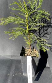 Riesenmammutbaum - Sequoiadendron giganteum, Nummer R0832