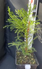Giant Sequoia - Sequoiadendron giganteum, number R0838