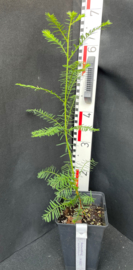 Coastal Redwood - Sequoia sempervirens, nummer R0557