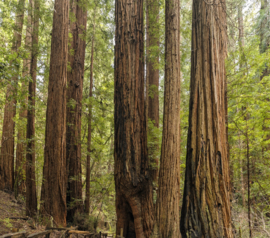 Coastal Redwood - Kustmammoetboom (klein)