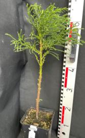 Giant Sequoia - Sequoiadendron giganteum, nummer R0851