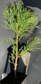Séquoia Géant - Sequoiadendron giganteum, nombre R0842