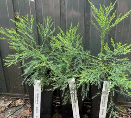 Twee eenjarige Giant Sequoia's  (Sequoiadendron giganteum) van Europese kweek
