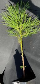 Riesenmammutbaum - Sequoiadendron giganteum, Nummer R0858
