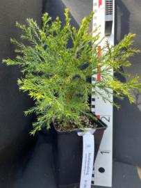 Giant Sequoia - Sequoiadendron giganteum, nombre R0828