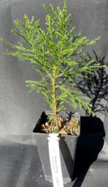 Séquoia Géant - Sequoiadendron giganteum, nombre R0837
