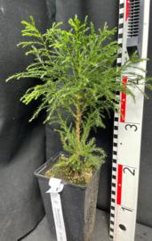 Giant Sequoia - Sequoiadendron giganteum, nummer R0830